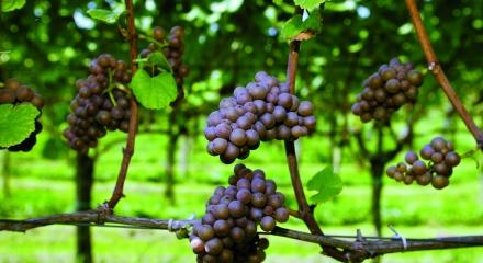 Wein in Zuid-Limburg © cmyk